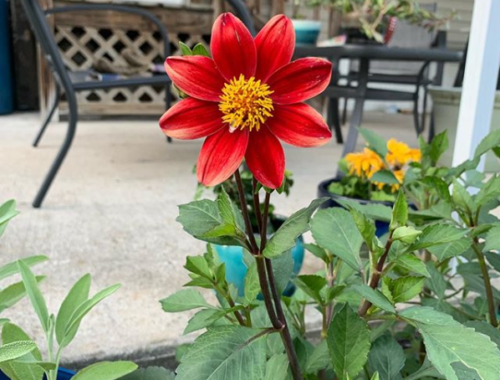 My Dwarf Dahlia is Pretty